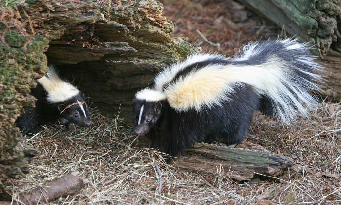 Less agile than other rodents, skunks prefer to shuttle between their dens in the underground and man-made structures that give them a perfect hideout to nurse their offspring.